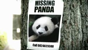 แชร์สนั่น!! แพนด้าหายปริศนา