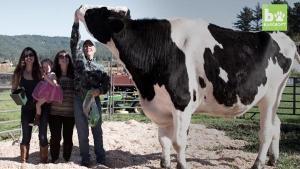 วัวสูงที่สุดในโลก
