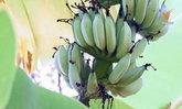 ราคากล้วยหอม กล้วยน้ำว้า ในประเทศยังแพงต่อเนื่องพุ่งหวีละ 70 บาท